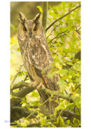 What Now Brown Owl (Long-eared Owl, Icknield Way)