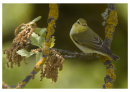 Woodland Sylth (Wood Warbler, Lesvos)