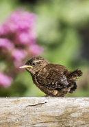 Young wren, Polperro